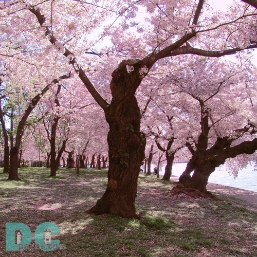 Monday, 9:20 am EST, April 11, 2005, Cherry Blossom tree shaking petals from branches. Sunny with a crisp breeze. Third Stage of Flower Bloom