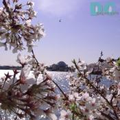 Monday, 9:20 am EST, April 11, 2005, Cherry Blossom View of the Jefferson Memorial. Sunny with a crisp breeze. Third Stage of Flower Bloom