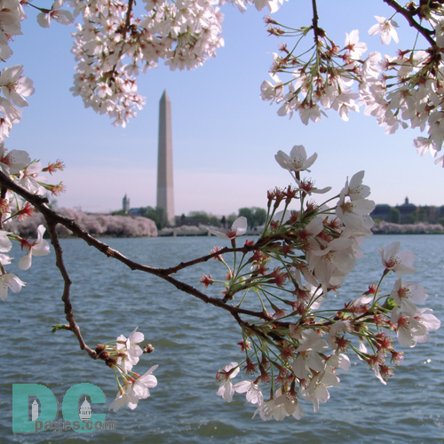 Monday, 9:20 am EST, April 11, 2005, Cherry Blossom View of the Washington Monument. Clear Skies. Third Stage of Flower Bloom
