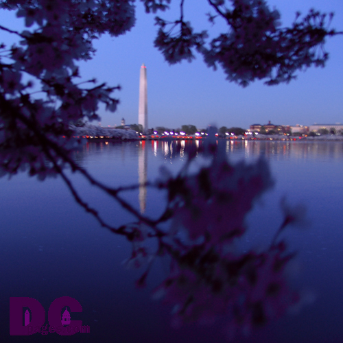 Sunday, 8:30 pm EST, April 10, 2005, Cherry Blossom View of the Washington Monument. Clear Skies. Third Stage of Flower Bloom