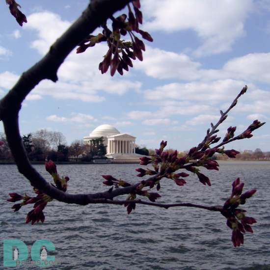 Wednesday, 9:30 am EST, March 22, 2006, Cherry Blossom View of the Jefferson Memorial. Scattered Clouds. Florets Visible