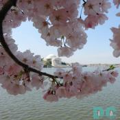 2006 Daily Cherry Blossom Photos