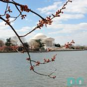 Thursday, 9:45 am EST, March 23, 2006, Cherry Blossom View of the Jefferson Memorial. Scattered Clouds. Florets Visible