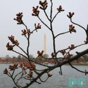 Friday, 10:00 am EST, March 24, 2006, Cherry Blossom View of the Washington Monument. Slight overcast. Florets Visible.