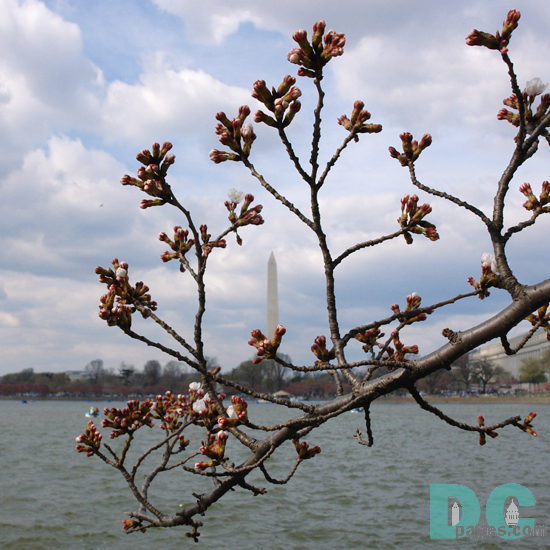Sunday, 3:00 pm EST, March 26, 2006, Cherry Blossom View of the Washington Monument. Cloudy. Extension of Florets.