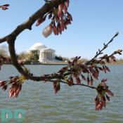 Monday, 9:30 am EST, March 27, 2006, Cherry Blossom View of the Jefferson Memorial. Clear Skies and light winds. Extension of Florets.