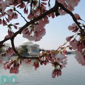 FIRST CHERRY BLOSSOMS! Located on Northeastern part of Tidal Basin. Wednesday, 10:30 am EST, March 29, 2006, Cherry Blossom View of the Jefferson Memorial. Clear skies with light winds. Extension of Florets.