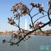 FIRST CHERRY BLOSSOMS! Located on Northeastern part of Tidal Basin. Wednesday, 10:30 am EST, March 29, 2006, Cherry Blossom View of the Washington Monument. Clear skies with light winds. Extension of Florets. Broken tree limb is still alive.