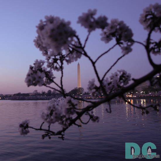 7:45 pm EST, March 30, 2006, Cherry Blossom View of the Washington Monument. Clear skies and perfect temperature of 72 degrees Farenheit. First Stage of Flower Bloom. Broken tree limb is starting to get weaker.