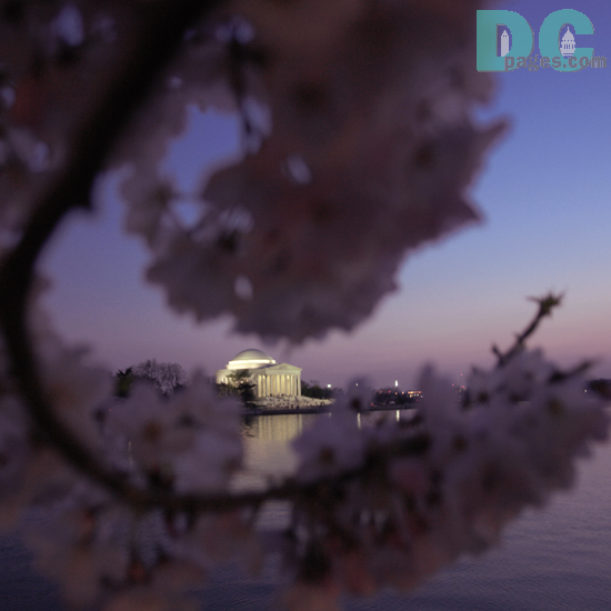 7:45 pm EST, March 30, 2006, Cherry Blossom View of the Jefferson Memorial. Clear skies and perfect temperature of 72 degrees Farenheit. First Stage of Flower Bloom.