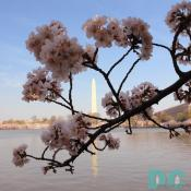 9:15 am EST, March 31, 2006, Cherry Blossom View of the Washington Monument. Clear skies and perfect temperature of 72 degrees Farenheit. First Stage of Flower Bloom.