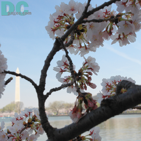 9:15 am EST, March 31, 2006. Injured limb is now dead. Please refrain from breaking cherry blossom branches. These special trees are a gift for everyone to enjoy.