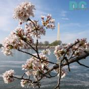 Sunday, 12:00 pm EST, April 2, 2006, Cherry Blossom View of the Washington Monument. Clear and Sunny. Third Stage of Flower Bloom.
